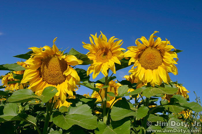 040830_Sunflowers_10D2_6186_w7