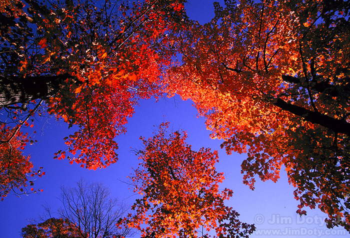 981009-fall-maple-leaves-CBZ33-w7