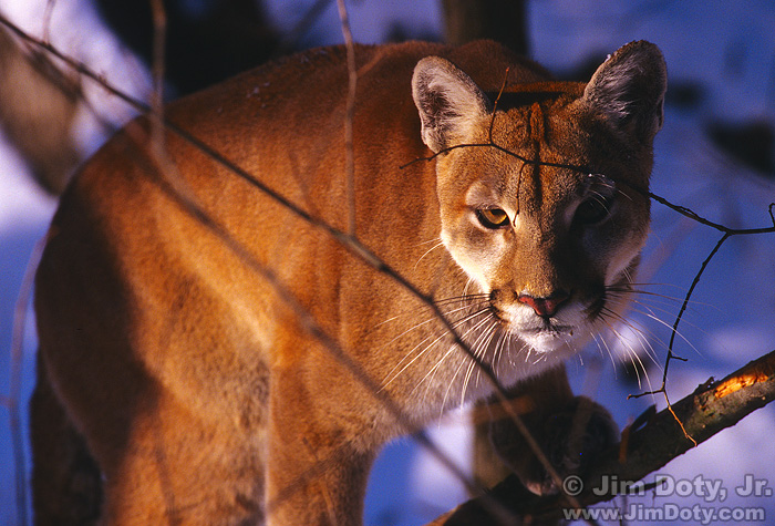 Cougar, Illinois