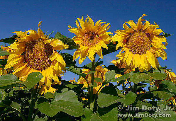 Colorado Sunflowers
