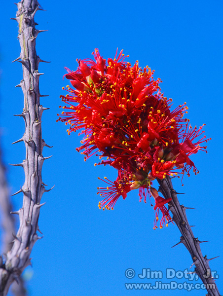 Ocotillo in Bloom, Big Bend National Park, Texas